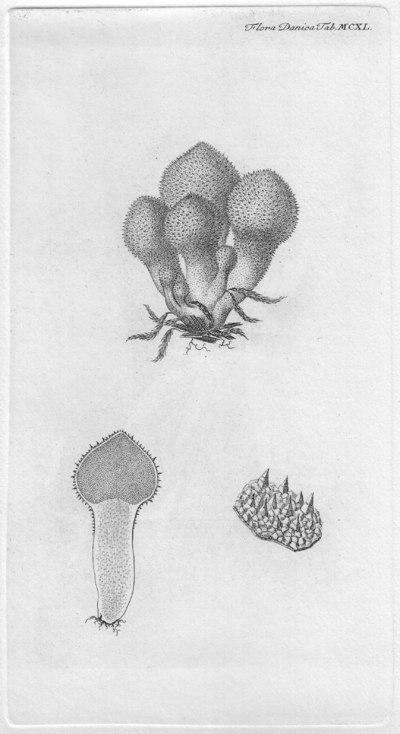Lycoperdon perlatum Pers. 1796