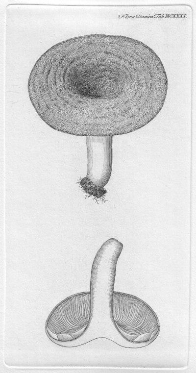 Lactarius deliciosus (L.) Gray
