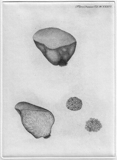 Fistulina hepatica (Schaeff.) With.