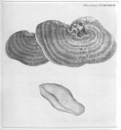 Ischnoderma resinosum (Schrad.) P. Karst. 1879