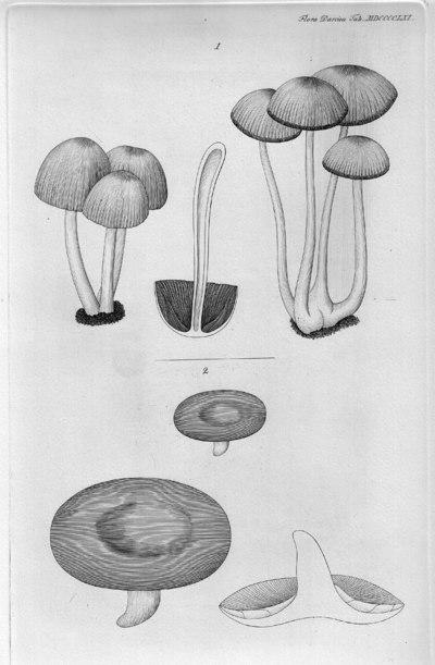 Lactarius blennius (Fr.) Fr.