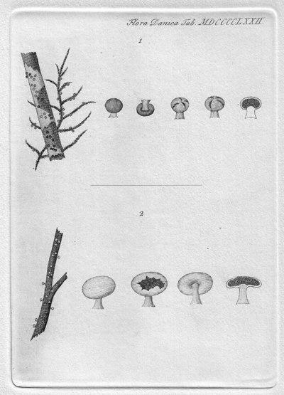 Diderma hemisphaericum (Bull.) Hornem. 1829
