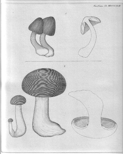 Clitocybe nebularis (Batsch) P. Kumm. 1871