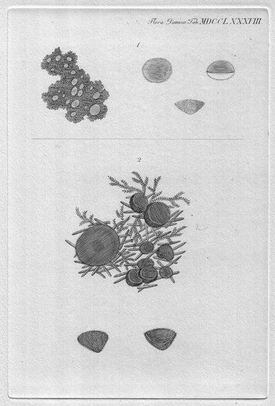 Pseudoplectania nigrella (Pers.) Fuckel 1870