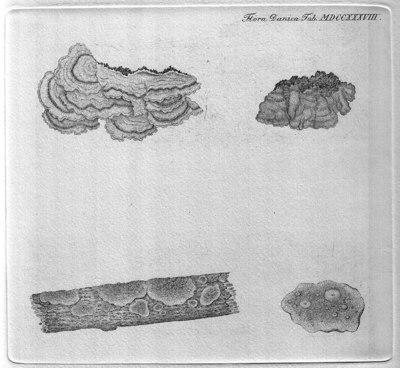 Stereum hirsutum (Willd.) Pers.