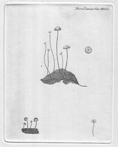 Gymnopus androsaceus (L.) J.L. Mata & R.H. Petersen, in Mata, Hughes & Petersen 2004