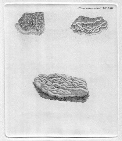 Merulius tremellosus Schrad.