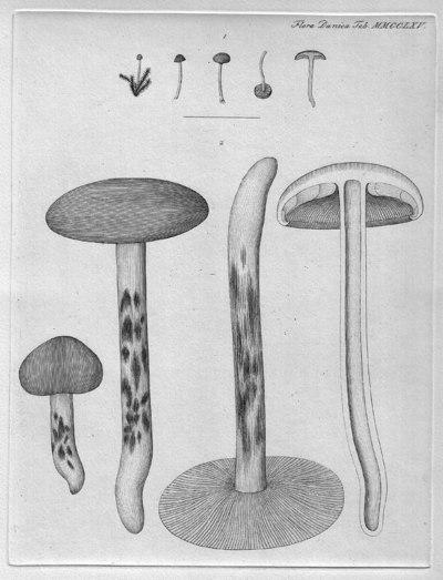 Rickenella fibula (Bull.) Raithelh. 1973