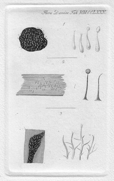 Tilachlidium brachiatum (Batsch) Petch, in Ellis 1941