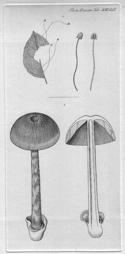 Mycena capillaris (Schumach.) P. Kumm. 1871