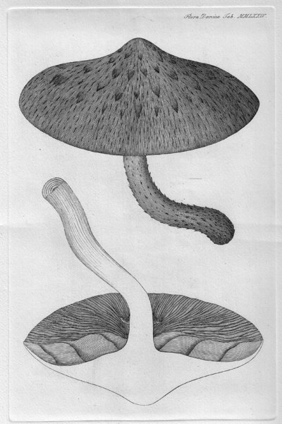 Pholiota aurivella (Batsch) P. Kumm. 1871