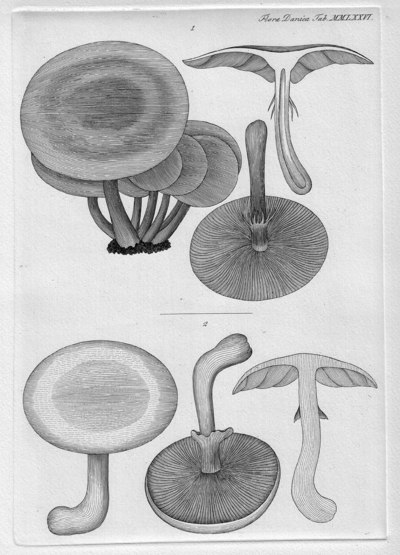 Agrocybe praecox (Pers.) Fayod 1889
