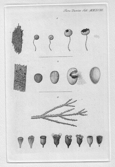 Badhamia capsulifera (Bull.) Berk. 1853