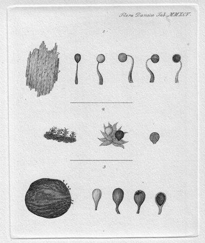 Physarum bryophilum Fr.