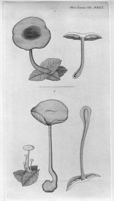 Gymnopus dryophilus (Bull.) Murrill 1916
