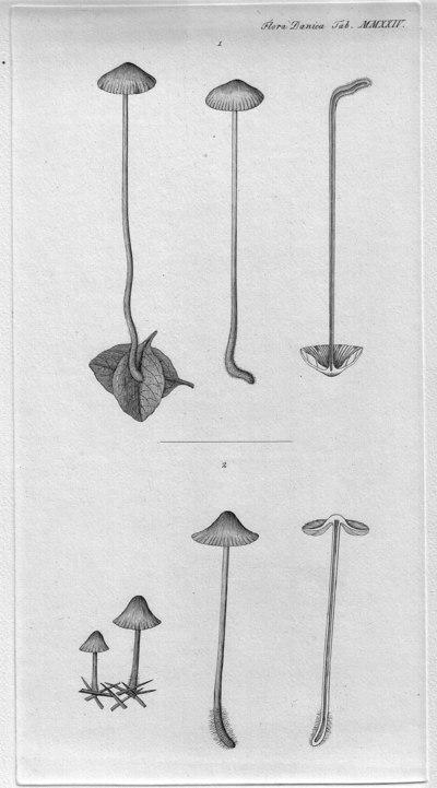 Agaricus elegans Pers.