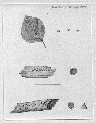 Phaeohelotium epiphyllum var. epiphyllum (Pers.) Hengstm. 2009