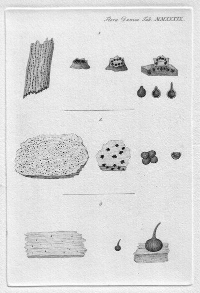 Eutypella quaternata (Pers.) Rappaz 1987