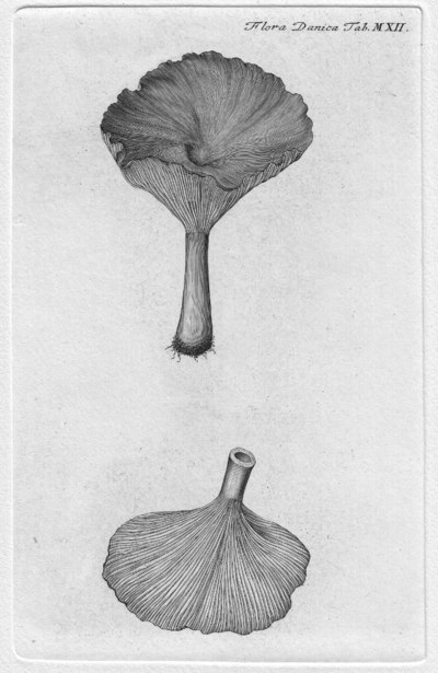 Clitocybe gibba (Pers.) P. Kumm. 1871