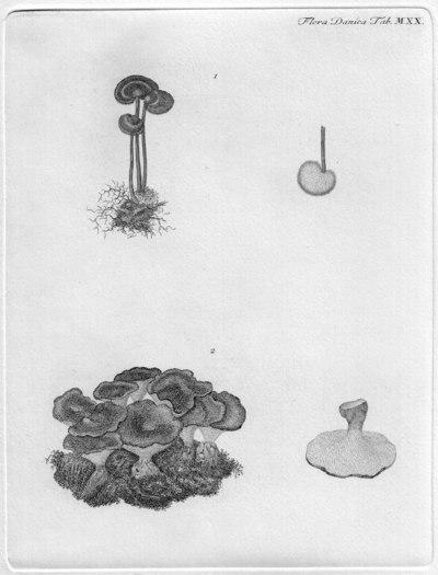 Auriscalpium vulgare Gray 1821