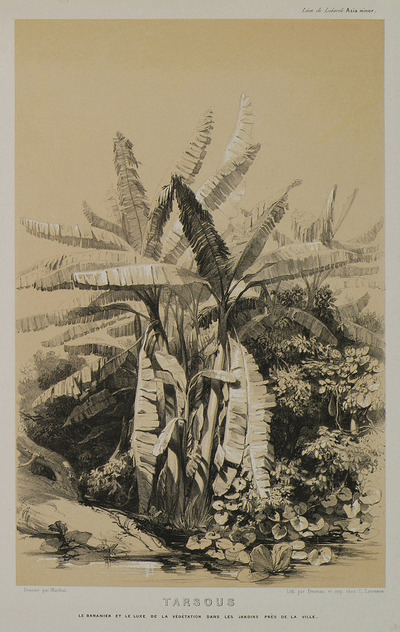 Banana tree and other vegetation in the gardens outside Tarsus, Cilicia.