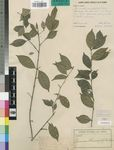 Pauridiantha microphylla