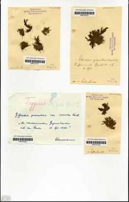 Giffordia granulosa var. seriata Kuckuck