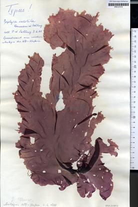 Porphyra insolita Kornmann et Sahling