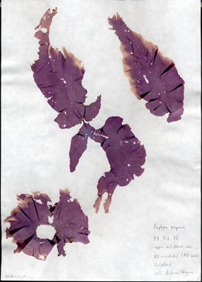 Porphyra purpurea (Roth) C. Agardh