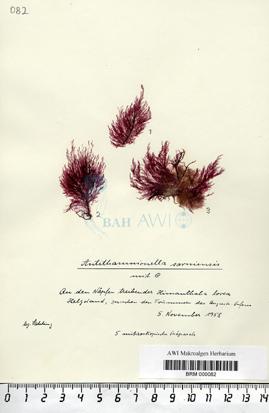 Antithamnionella sarniensis Lyle