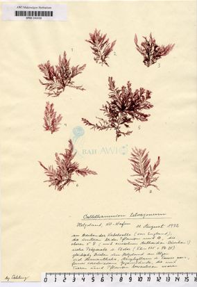 Callithamnion tetragonum (Withering) S. F. Gray