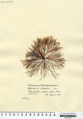 Ceramium deslongchampsii Chauvin ex Duby