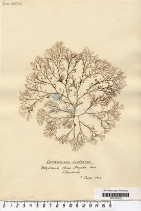 Ceramium rubrum C. Agardh
