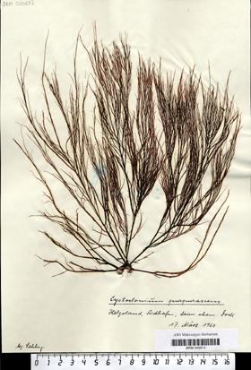 Cystoclonium purpurascens  (Hudson) Kützing