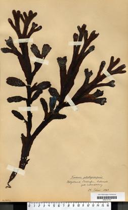 Fucus platycarpus Thuret nom. Illeg.