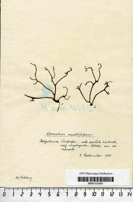 Nemalion multifidum (F. Weber et D. Mohr) Endlicher