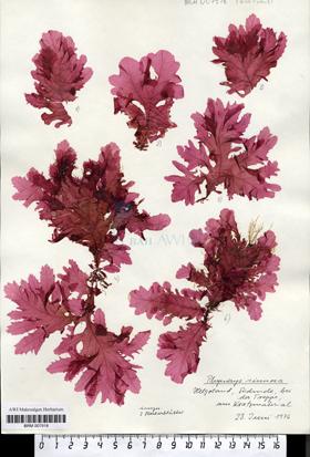 Phycodrys sinuosa (Goodenough & Woodward) Kützing