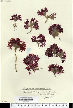 Phyllophora membranifolia Endlicher
