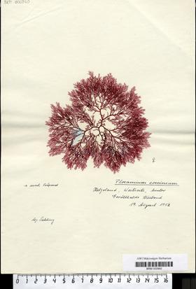 Plocamium coccineum (Hudson) Lyngbye