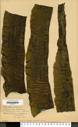 Litosiphon filiformis (Reinke) Batters