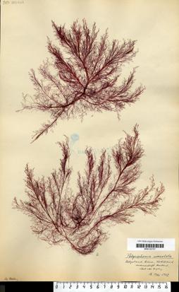 Polysiphonia urceolata (Lightfoot ex Dillwyn) Greville