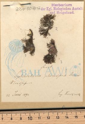Sphacelaria plumigera Holmes ex Hauck