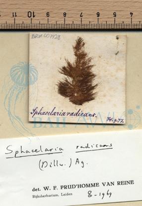 Sphacelaria radicans (Dillwyn) Harvey