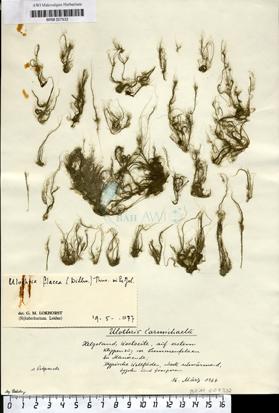 Ulothrix flacca (Dillwyn) Thuret
