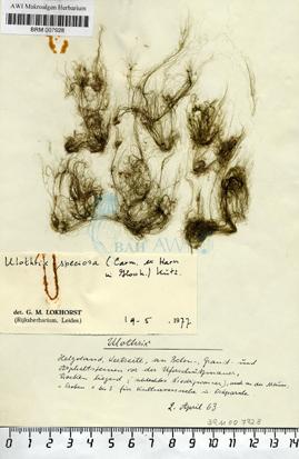 Ulothrix speciosa (Carmichael) ex Harvey Kützing