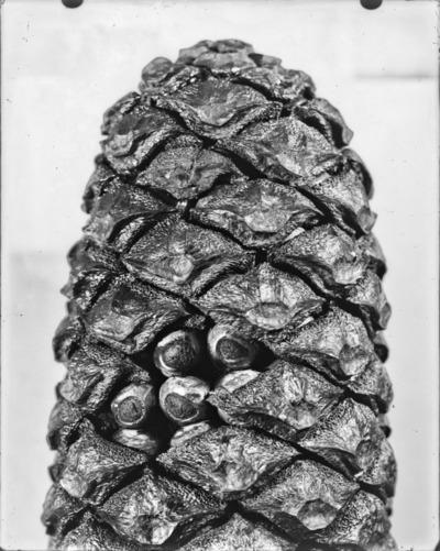 Détail de cône du genre Encephalartos #2309