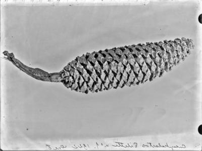 Cône du genre Encephalartos #2347