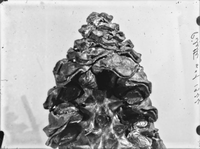 Détail de cône du genre Encephalartos #2350