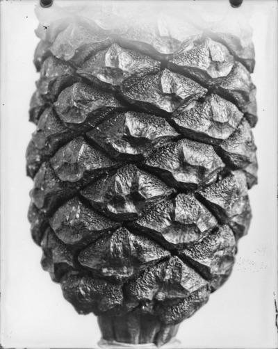 Détail de cône du genre Encephalartos #2305