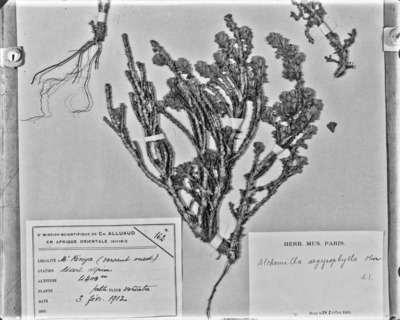 Détail d'une planche d'herbier : Alchemilla argyrophylla #2083